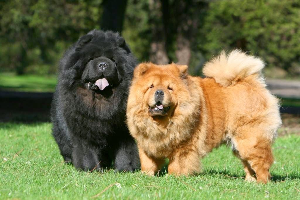 Photo of Chow Chow Dogs