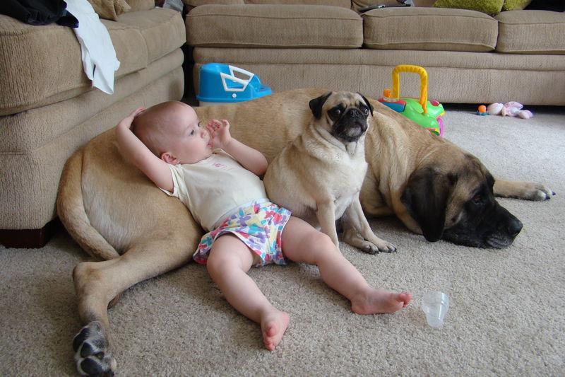 mastiff-with-child