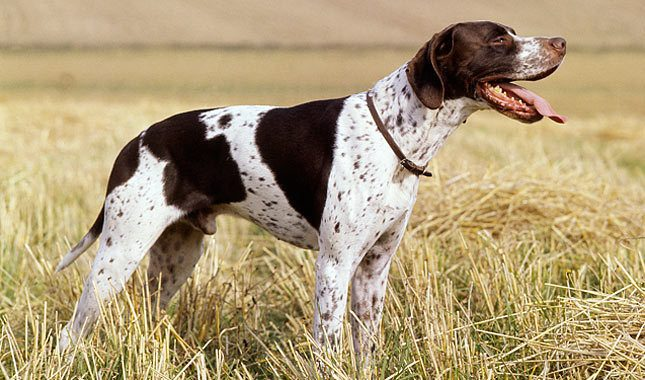 pointer-dog-012