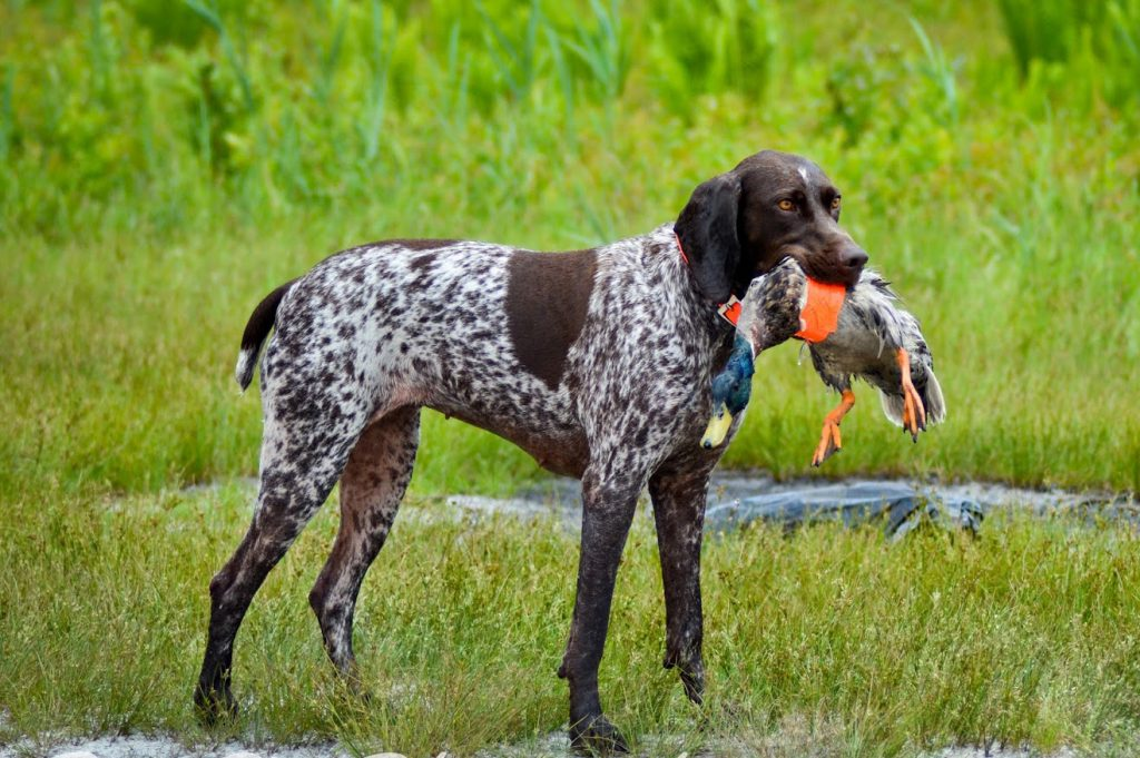 Photo of Most Popular Pointer Dogs Breeds