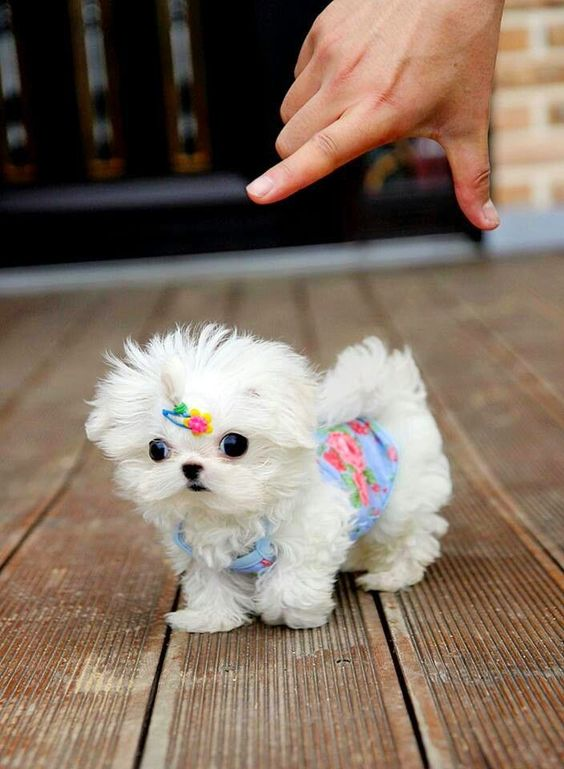 Photo of Best Places of Teacup Doggies For Sale In USA