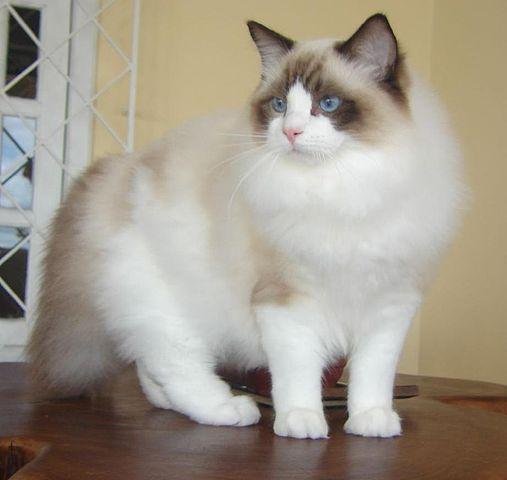 ragdol-cat111