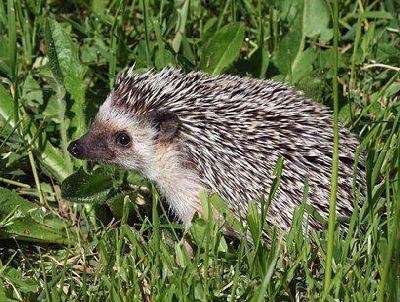 africanpygmyhedgehog-023