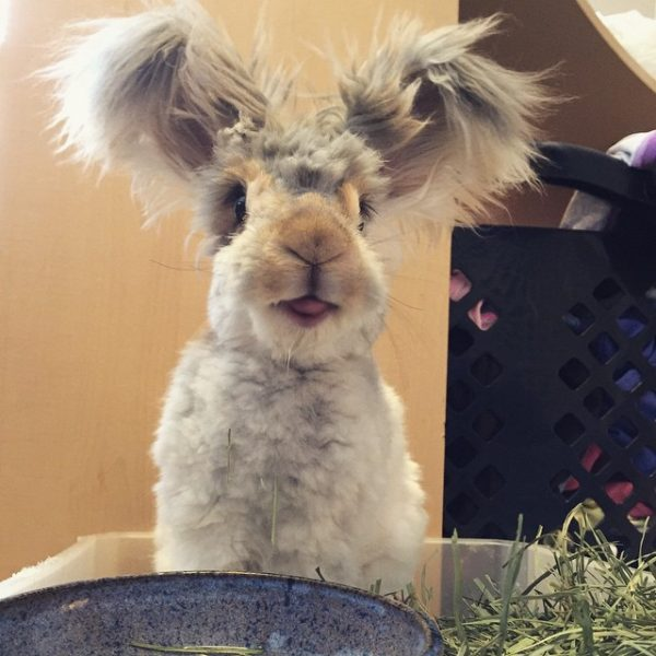 angora-rabbit-01