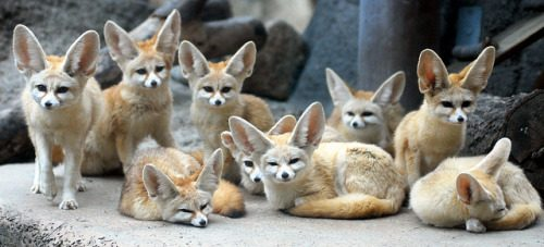fennec-foxes-032