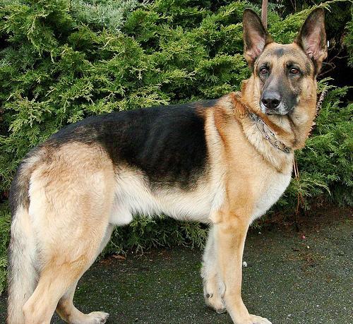 german-shepherd-dog-096