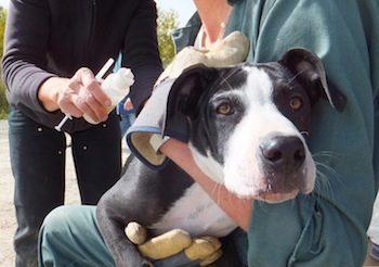 immunocontraception-for-dog-012