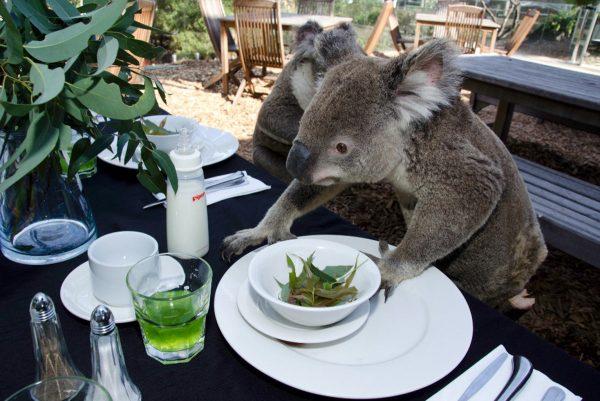 koalas-at-breakfast