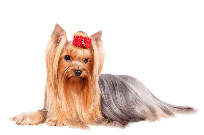 Photo of 6 Shocking Yorkshire Terrier Information