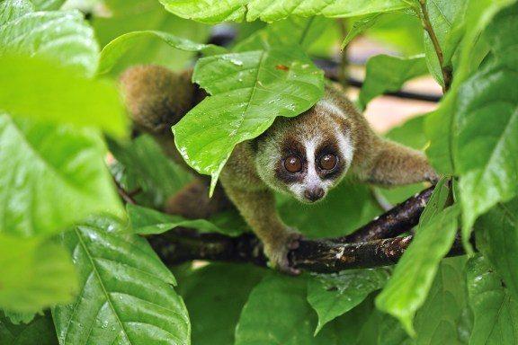 philippine-tarsier-55