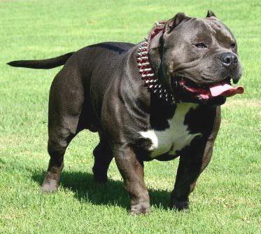 pit-bull-dog-058
