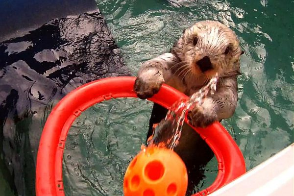 sea-otter-playing