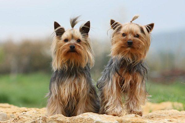 yorkshire-terrier-55