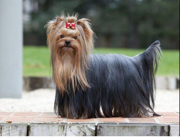 yorkshire-terrier-589