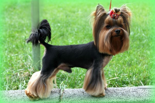 yorkshire-terrier-789