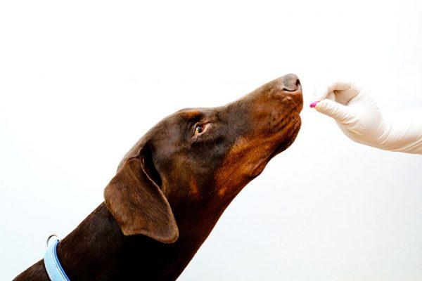dog-taking-antibiotics-pills