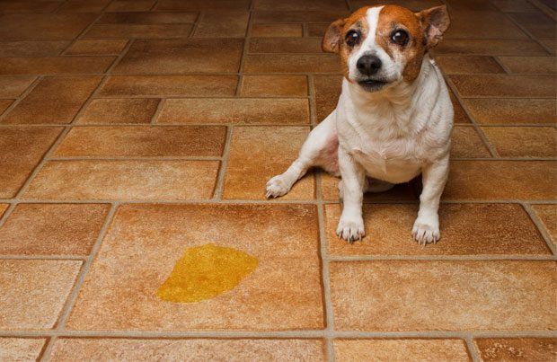 dog_urine_in_house-012