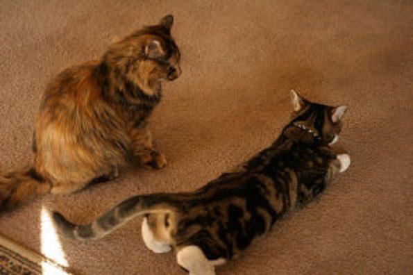 female-cat-in-heat-74