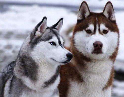 husky-dog-032