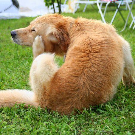 itching-dog-023