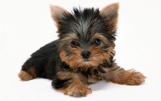 yorkshire-terrier-201