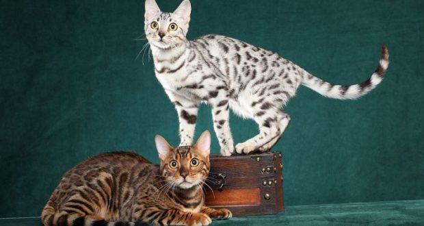 Can You Walk A Bengal Cat