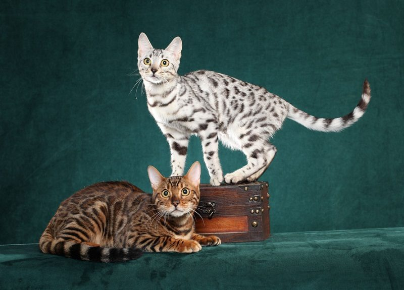 Photo of Bengal Cat Caring- 10 Things You Should Do