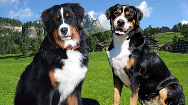 Photo of 10 Facts Until You Reach Your Bernese Mountain Dog