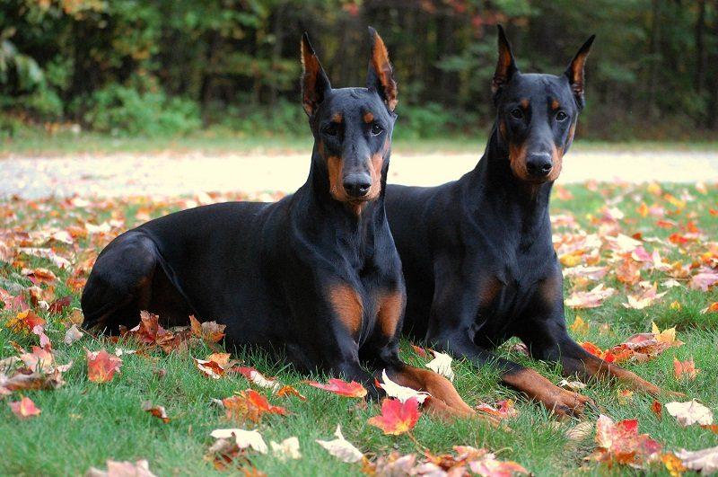 Photo of The Doberman Dog