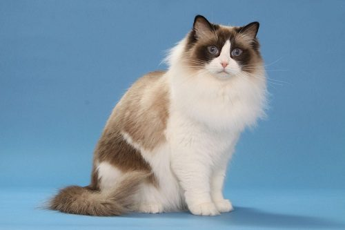 The 10 Most Important Facts About Ragdoll Cat Disk Trend Magazine
