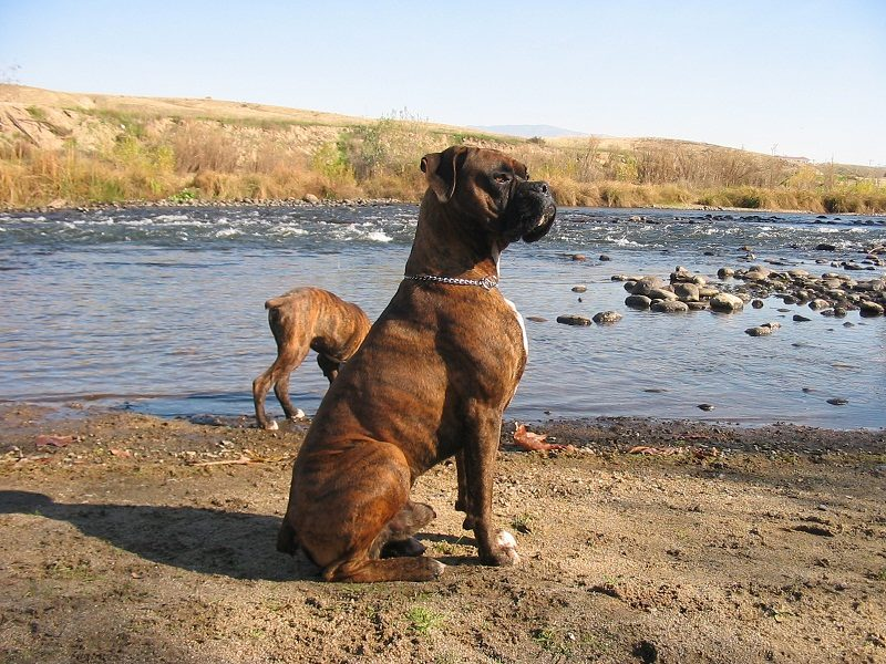 Photo of 10 Things About Boxer Dog You Need To Know
