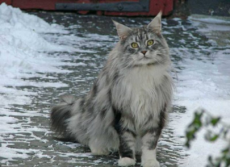 Photo of Take Care Of Maine Coon Doesn't Have To Be Hard. Read These 10 Tips