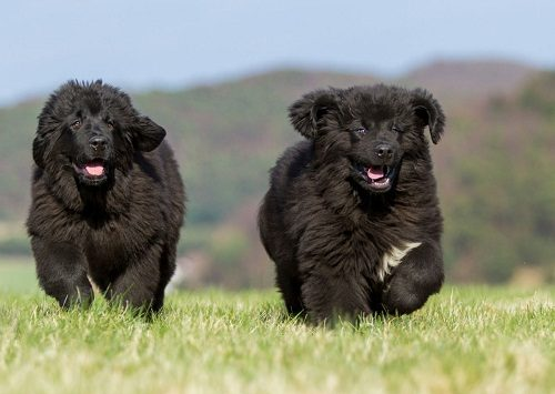 Top 12 Biggest Dog Breeds In The World - Disk Trend Magazine