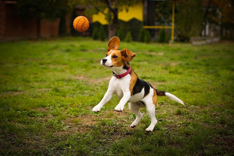 Photo of 10 Things You Didn't Know About Beagle Dog