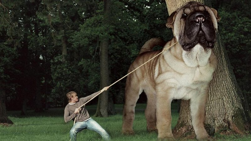 Photo of Top 12  Biggest Dog Breeds In The World