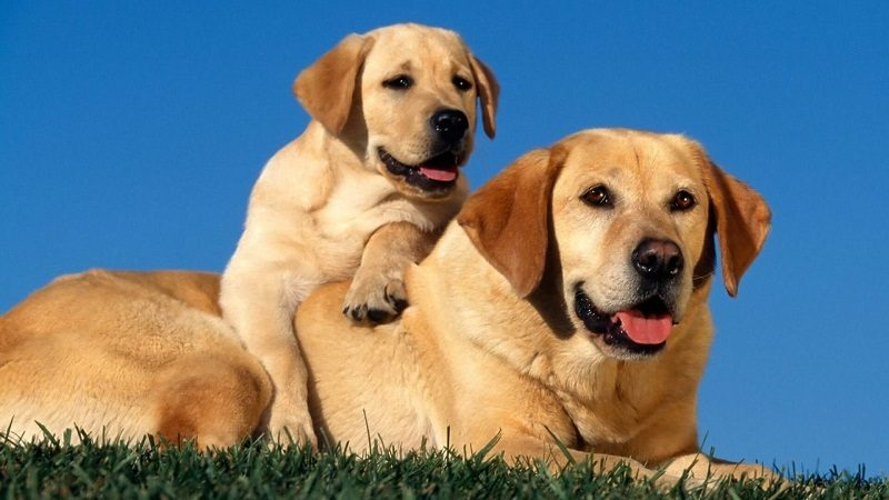 Photo of Do You Need To Know About Labrador Retriever Dog? Read This!