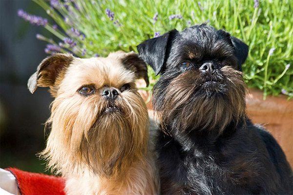 Top 15 Smallest Dog Breeds - Disk Trend Magazine