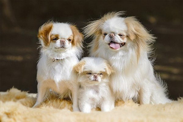 Top 15 Smallest Dog Breeds Disk Trend Magazine