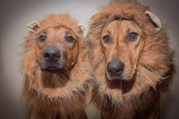 Top 10 dogs that look like lions - Disk Trend Magazine