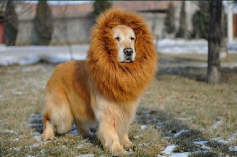 Photo of Top 10 dogs that look like lions
