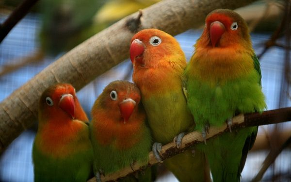 Fisher S Lovebirds One Of The Parrots Species 44 Disk Trend Magazine