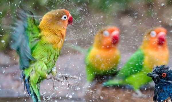 Fisher S Lovebirds One Of The Parrots Species Disk Trend Magazine