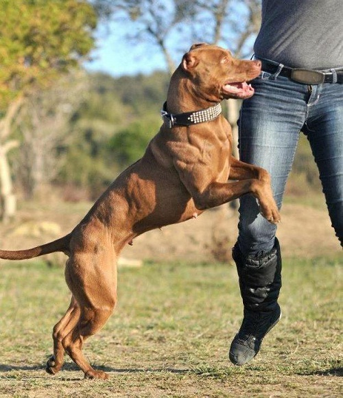 10 Interesting facts about American pit bull dogs - Disk Trend Magazine
